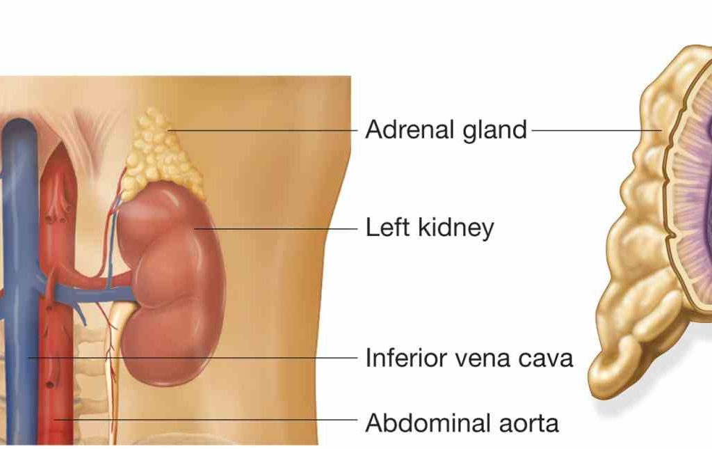 Anatomy of adrenal glands