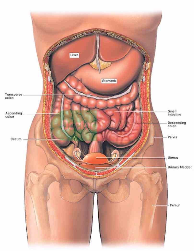righthand part of abdominal cavity under ribs although it has many learn how to rotate look inside explore human
