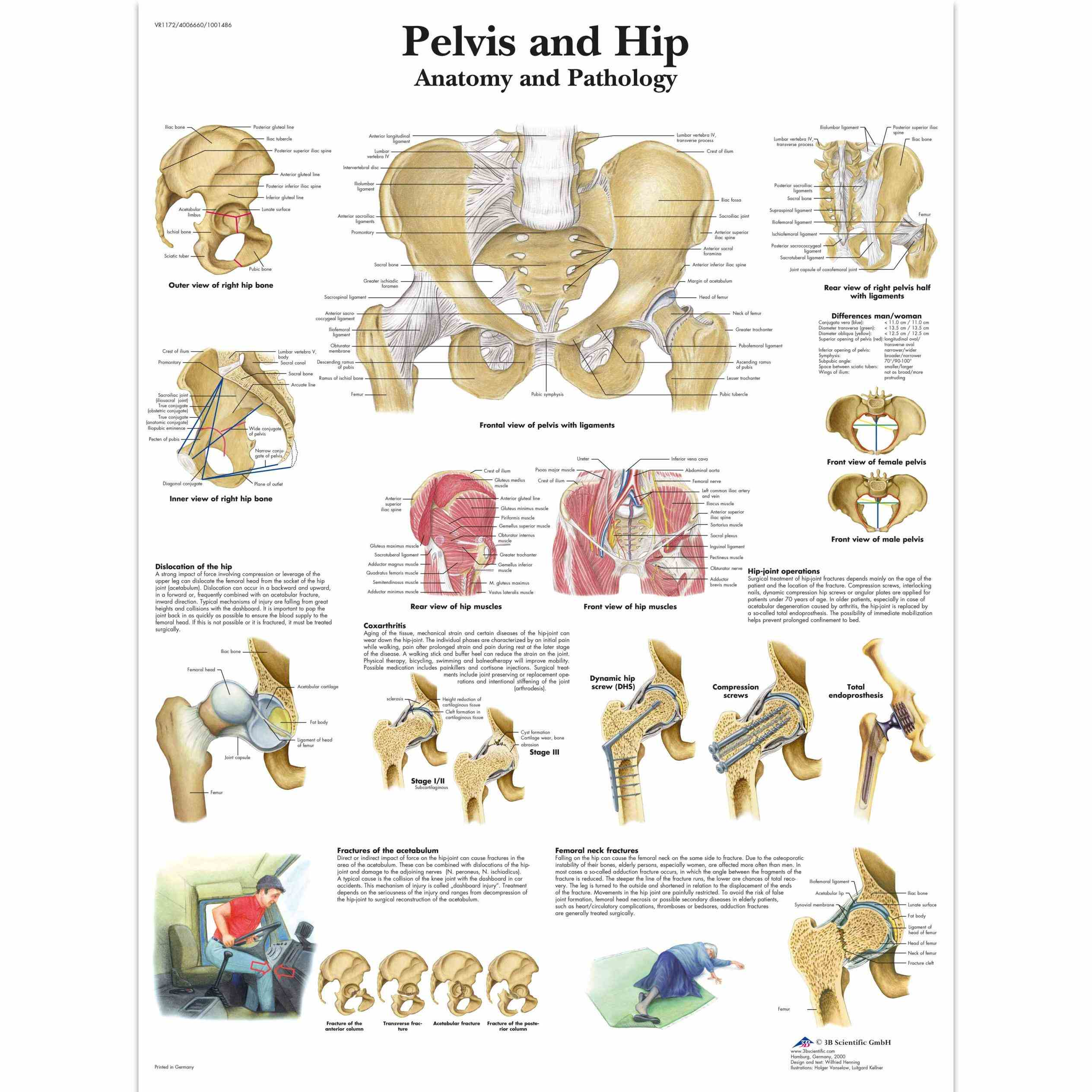 rounded head the hip Anatomy Of Hip And Pelvis anatomy the joint is a ball and socket formed by