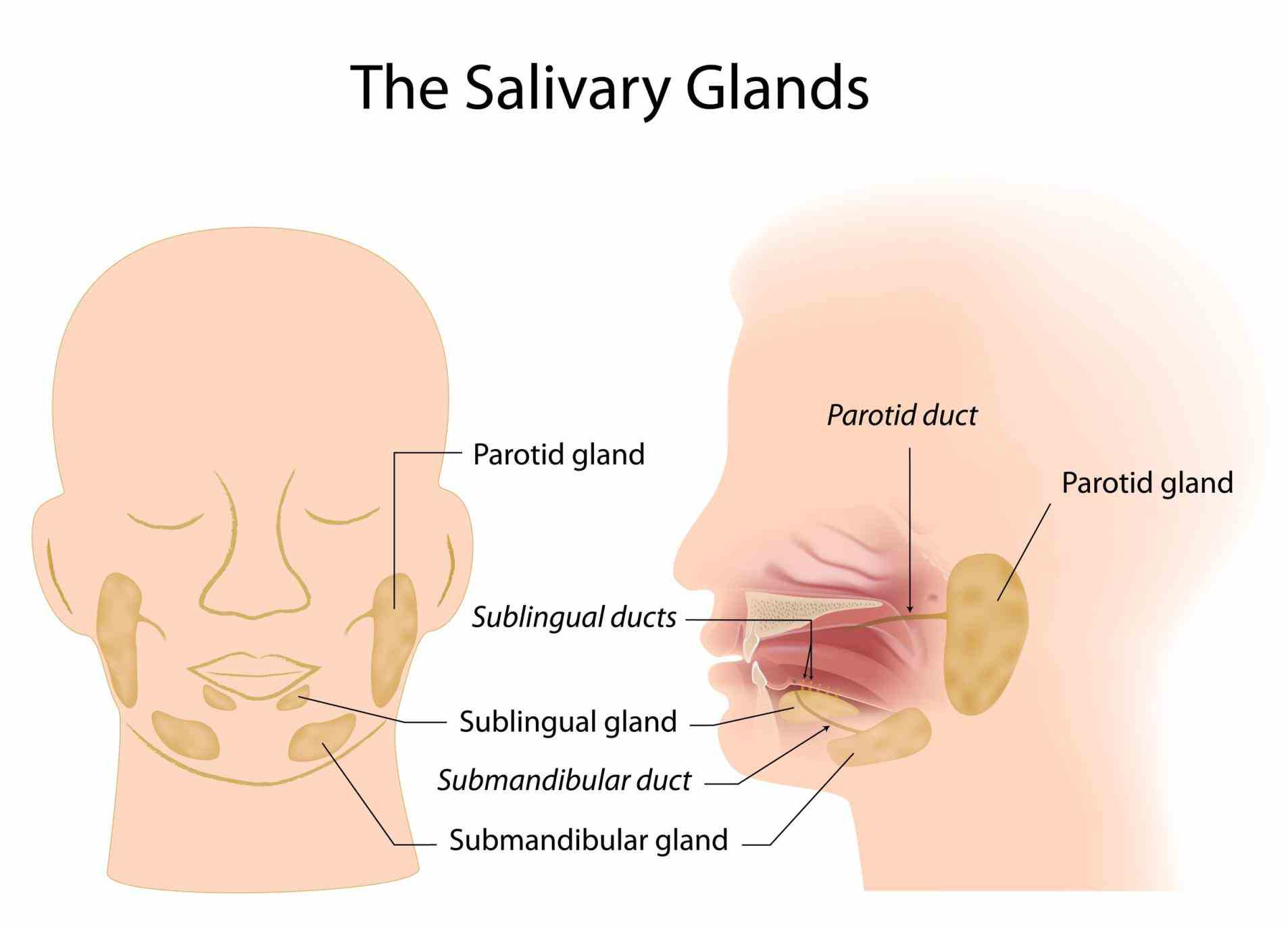 salivary glands that arranged in pairs called the parotid sublingual and submandibular they primarily produce saliva the Location Of