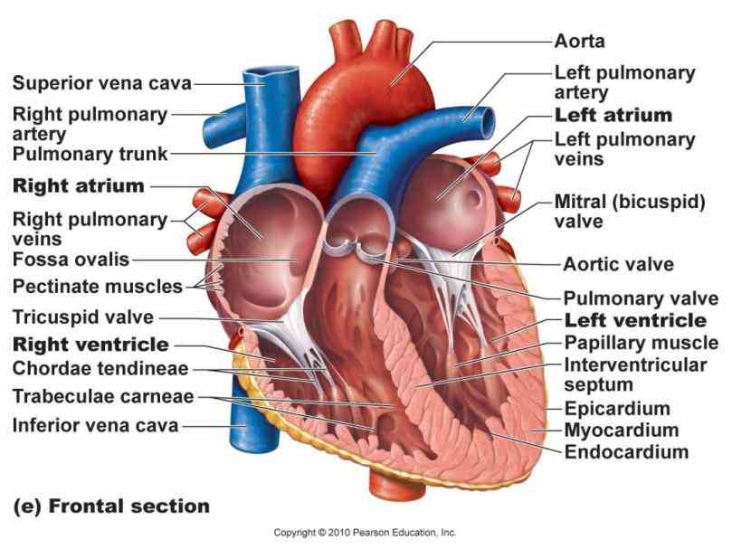 seen in labeled the Image Of The Heart Labeled adult heart pumps about to gallons per day there are