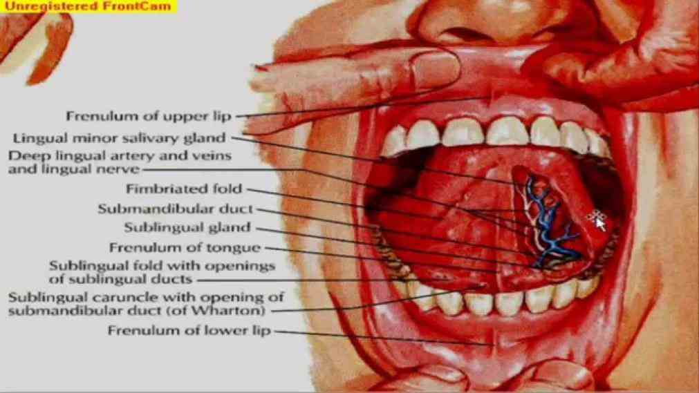 The Mouth Anatomy Set Mouth Anatomy Schematic