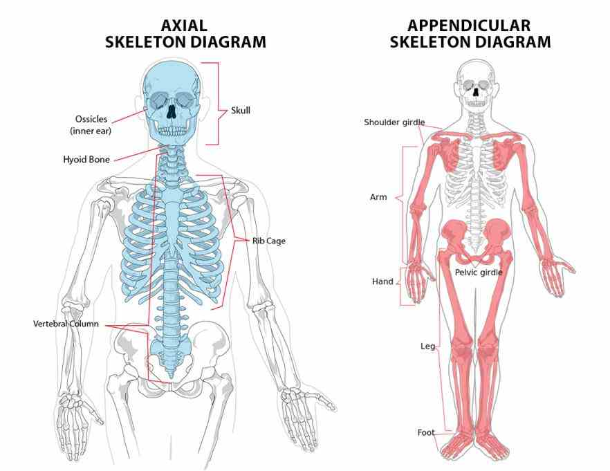 shown in diagram on right related pages include structure functions bones cranial facial the Appendicular Skeleton Structure Anatomy human