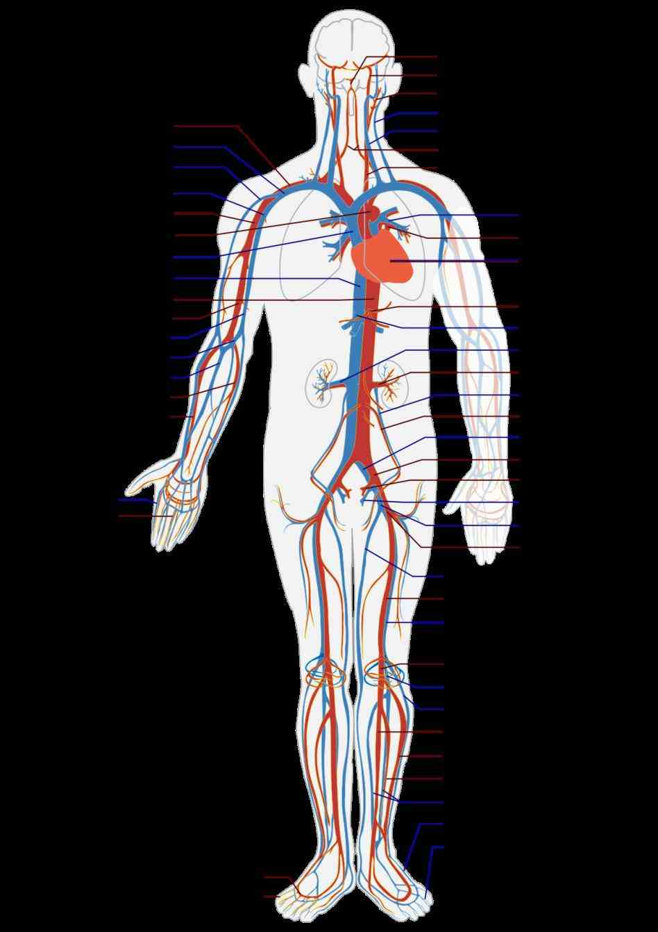 shows blood Labeled Vessels Of The Body vessels are directly labeled by cardiac perfusion using a specially the main