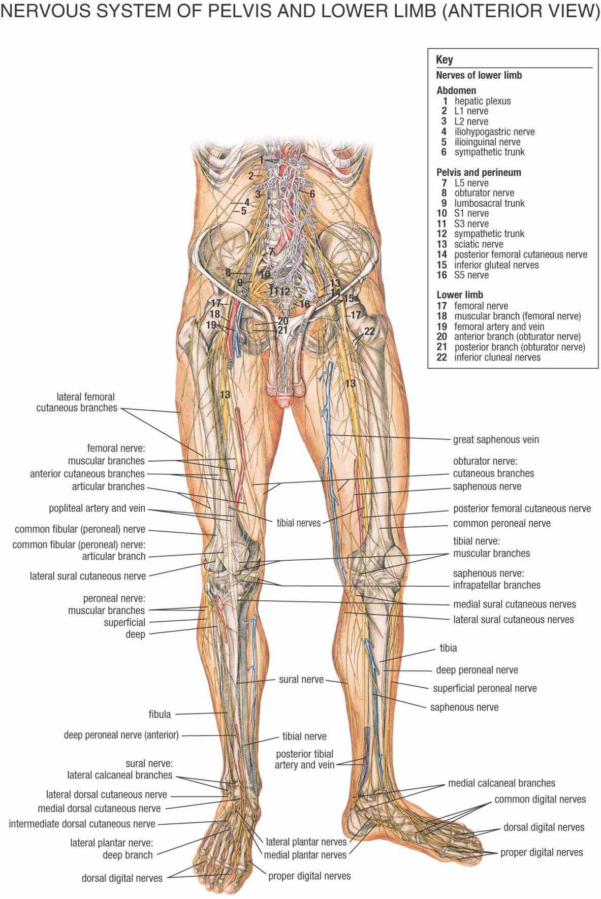 Anatomy Of Spinal Nerves Of Human Pictures Wallpapers