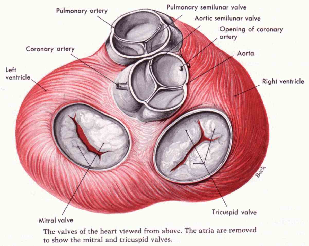 simple definitions and a labeled fullcolor illustration de Heart Valve Anatomy Diagram set valves of the heart aortic valve