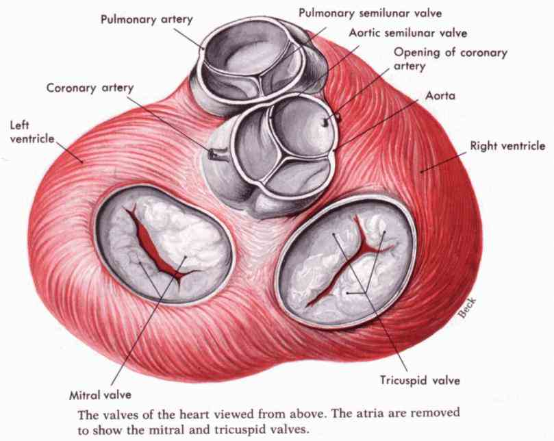 simple definitions and a labeled fullcolor illustration de Heart Valves Anatomy Pictures mar heart valves ensure that blood flows