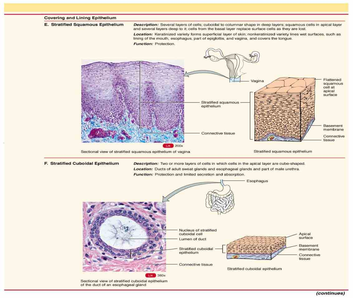 simple squamous stratified Epithelial Tissue Location In The Body columnar epithelium function protection and secretion location rare in the