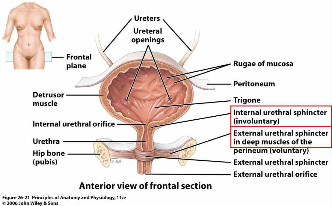 situated anteriorly in pelvic cavity we shall look at anatomy and physiological functions the Anatomy Of Urinary Bladder urinary