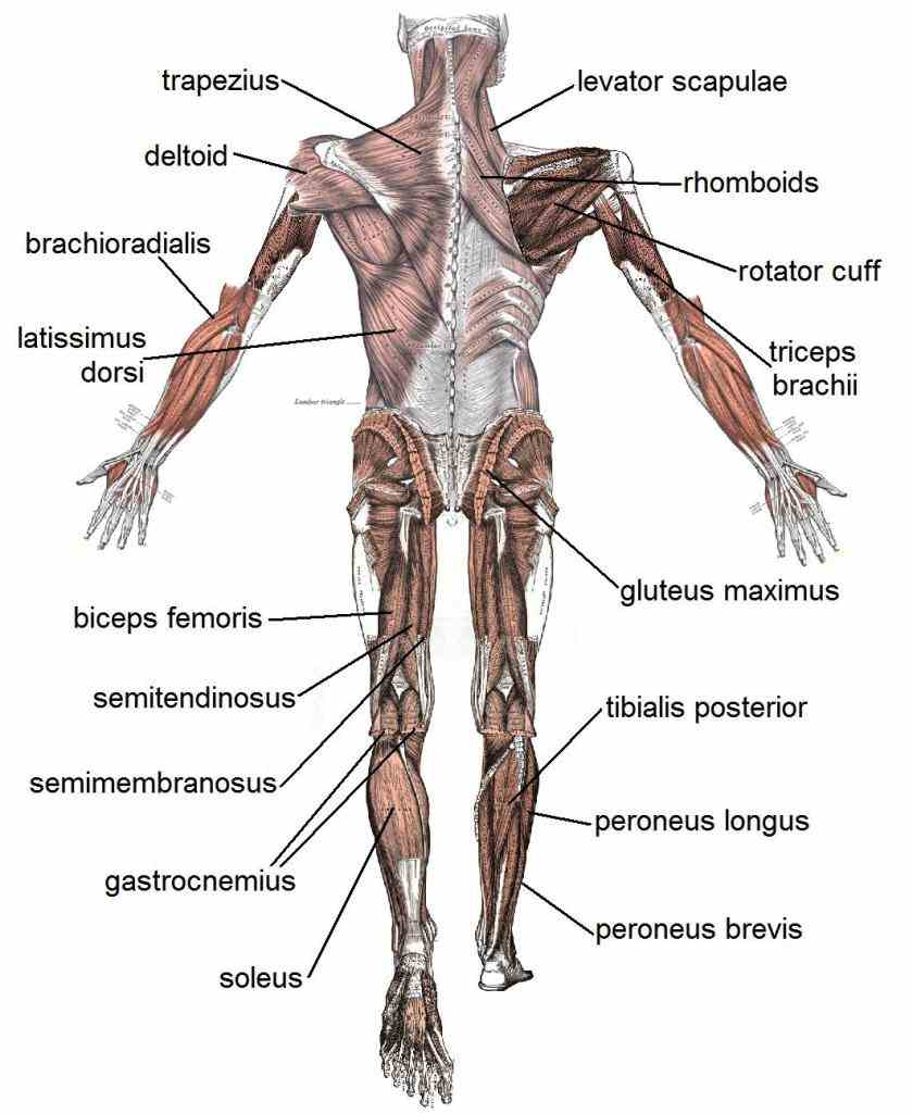 sizes learn their different functions todays post anatomical Muscle Of The Human Body diagram showing a front view of