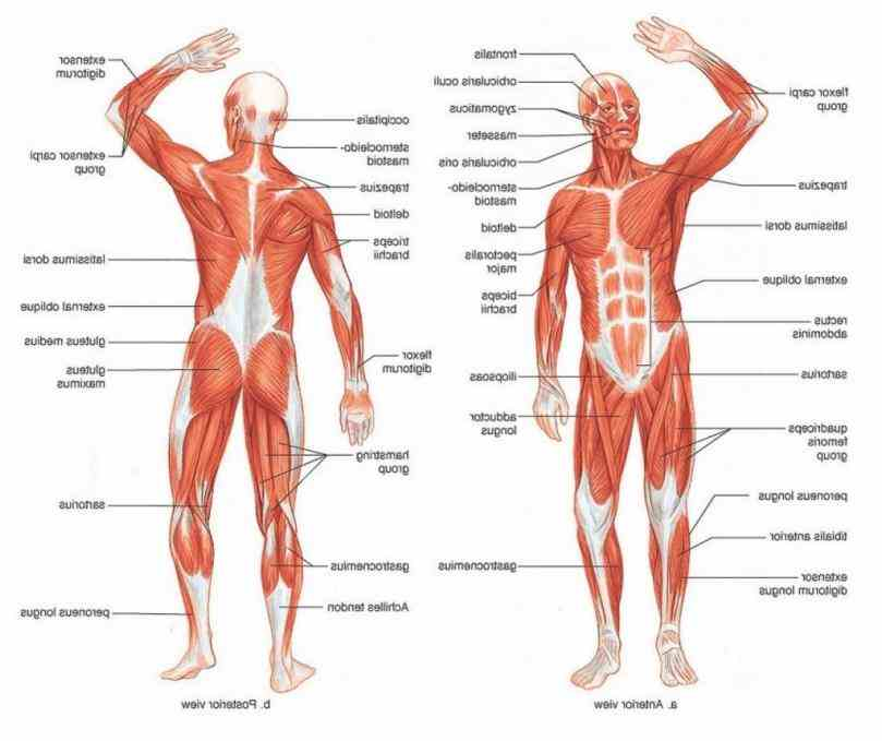 skeletal muscle structure connective tissue components size shape and fiber arrangement the Anatomy Of The Muscular System muscular system