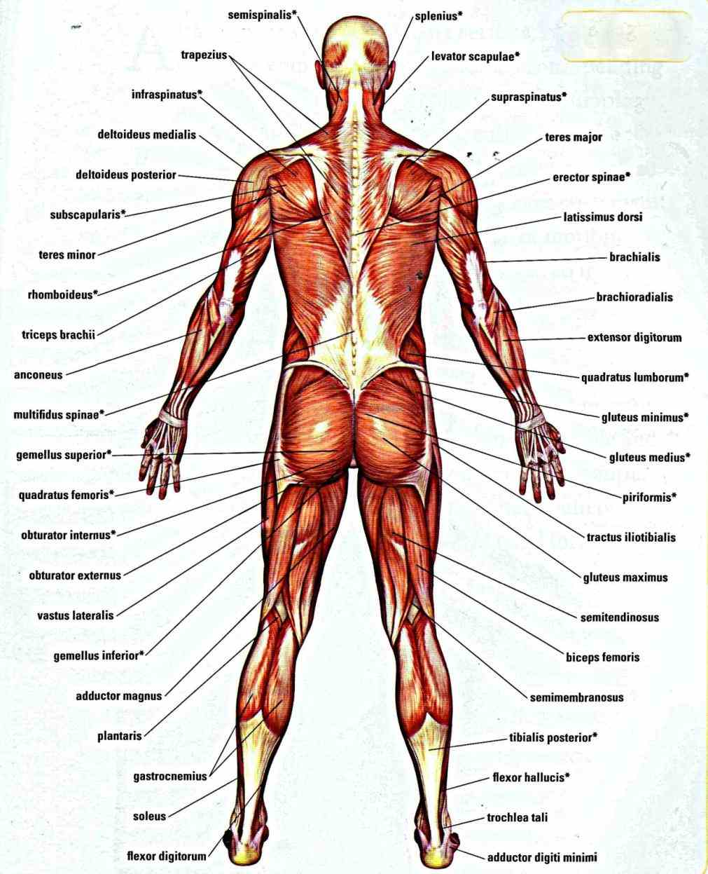 skeletal muscles the human anatomy there are over within typical body almost every muscle constitutes  this Muscle Anatomy Of