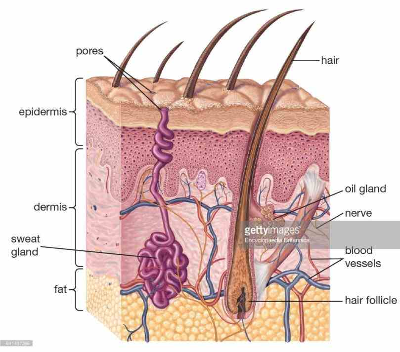 skin  picture Picture Of The Integumentary System this is another diagram of your skin a sensory nerve fibers that