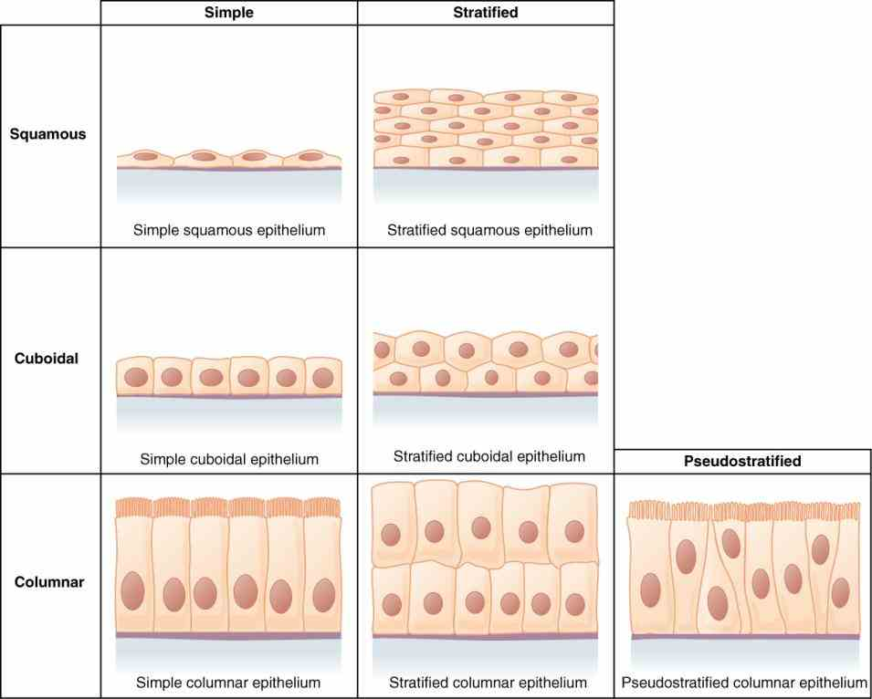 skin protects vulnerable structures or tissues deeper in the body review Epithelial Tissue In Skin of the epithelial tissue