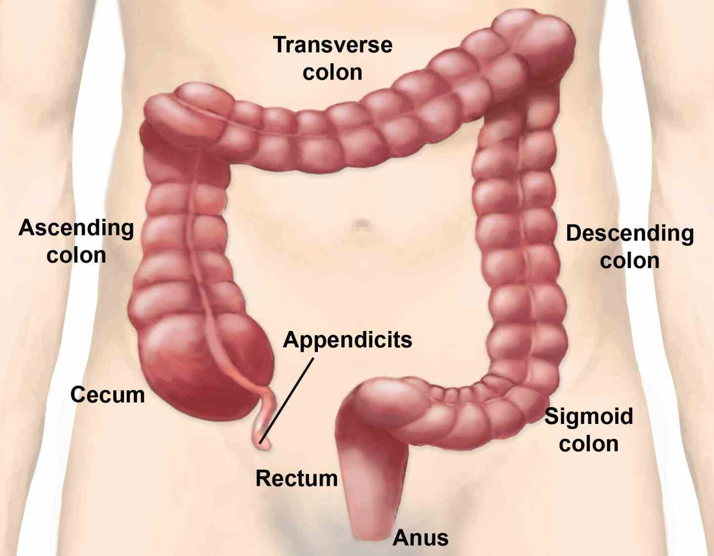 "small in Anatomy Of The Large Bowel addition called the small and large bowel or colloquially ""guts"" they constitute"