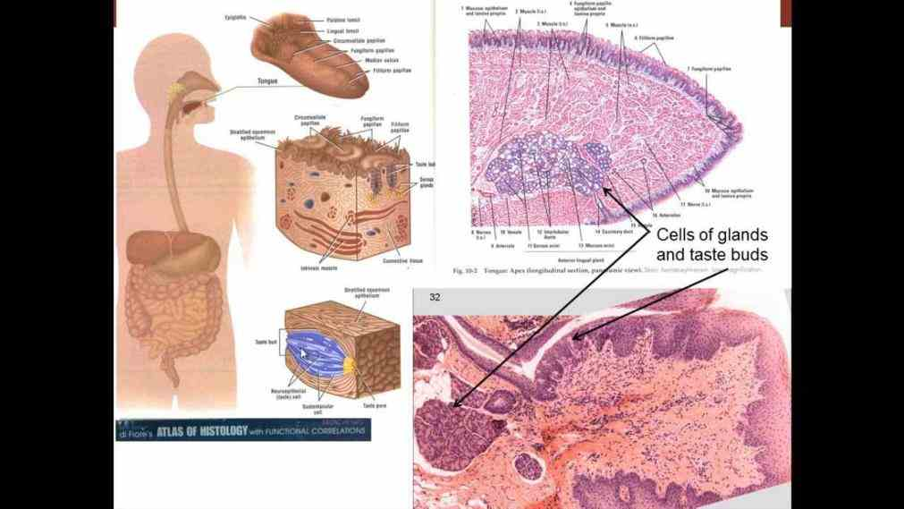 small intestine large  de Cells Of The Digestive System dez specialized cell functions of the digestive system stomach cells