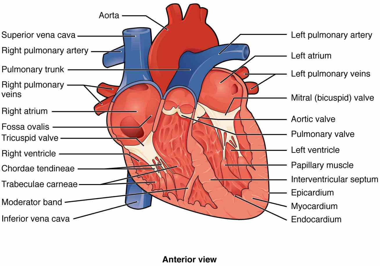 smooth and responsible for keeping blood  description Interior Of The Heart Diagram diagram of the interior heart labels a