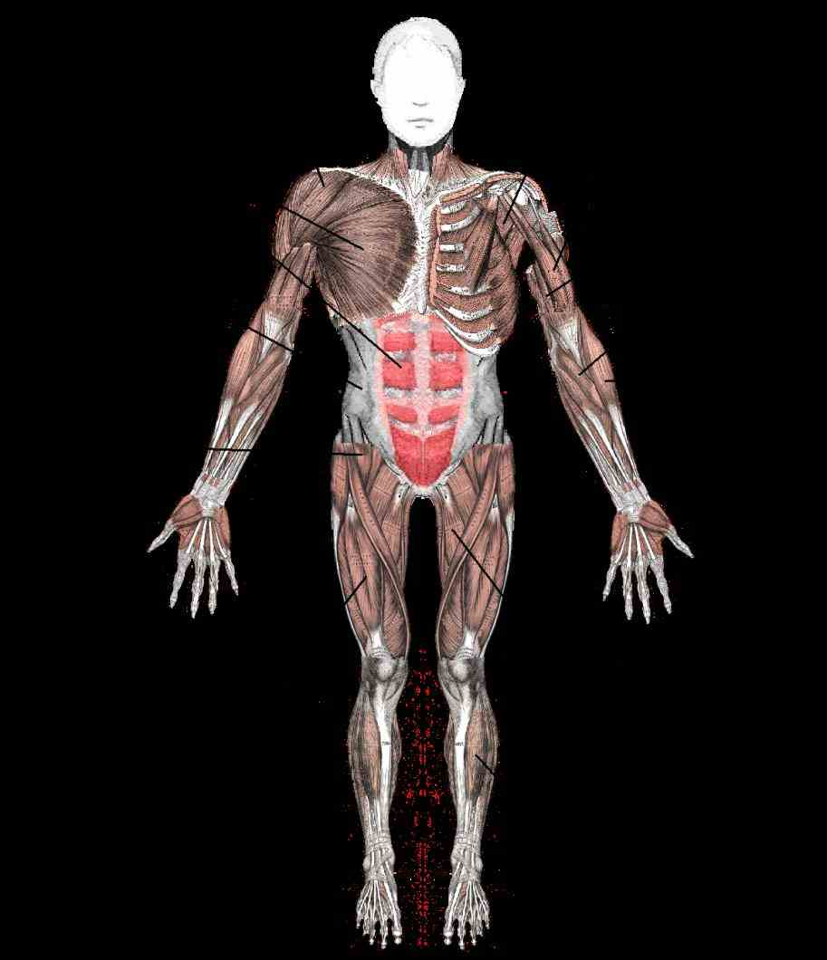 some largest in human body and classed as skeletal muscle because  all All Major Muscles In The Human Body