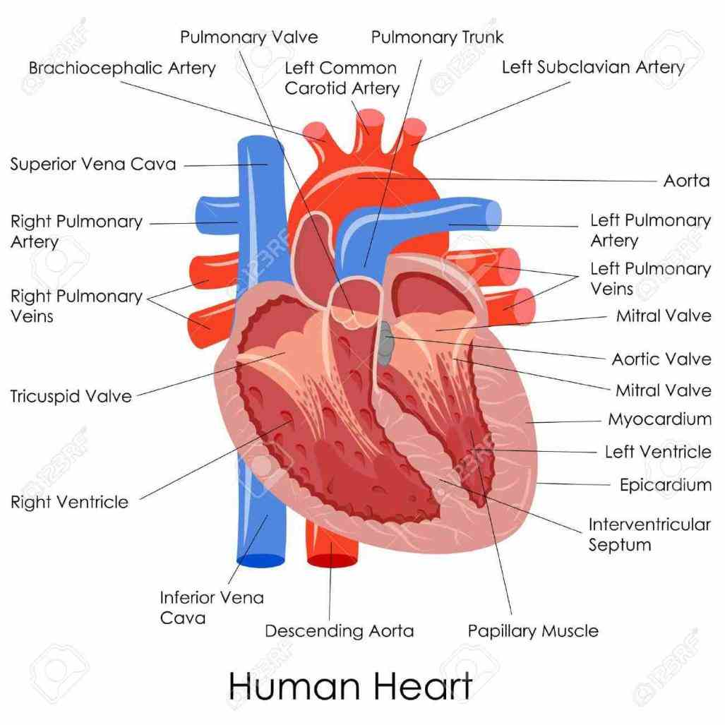some regular pictures and d of human labeled the Image Of The Heart Labeled heart is a muscular organ