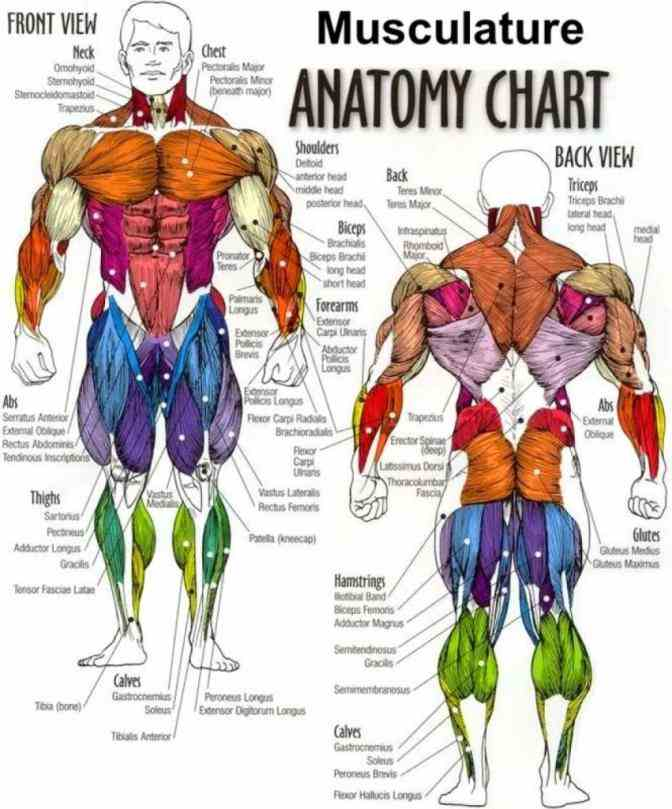 some required by itec diploma in anatomy physiology and pathology sept  simple Labeled Body Muscle Diagram labeled muscle diagram