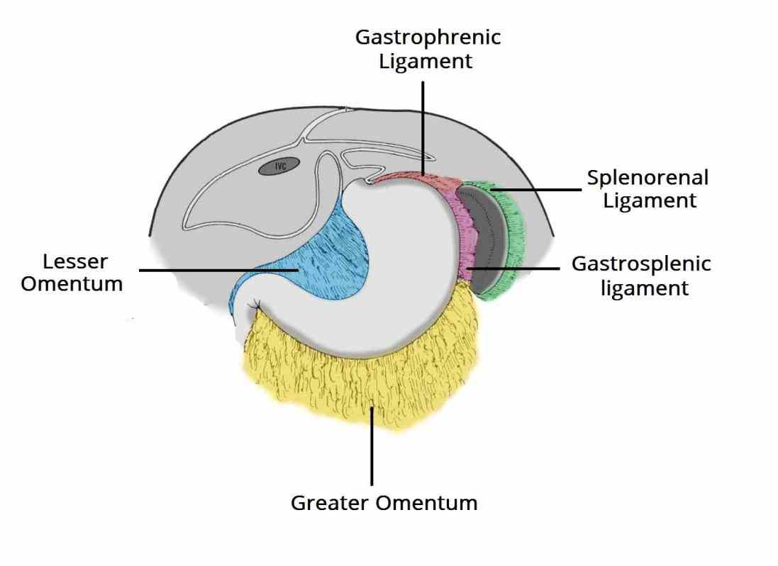 space retroperitoneum is anatomical sometimes a potential structures that are not suspended by mesentery in abdominal cavity and lie