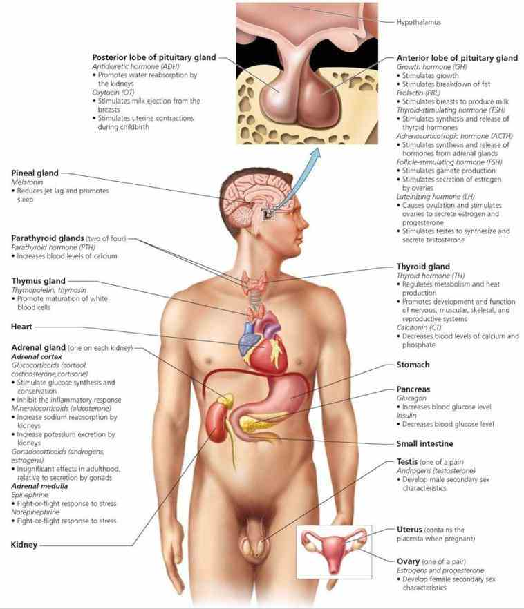species many scientists major internal organs female reproductive system include the the Major Organs Of The Reproductive System And
