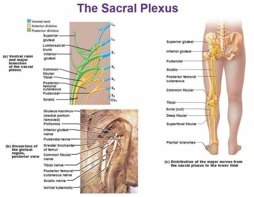 spine intro to human anatomy · building blocks cells the Anatomy Of Spinal Nerves Of Human nervous system is