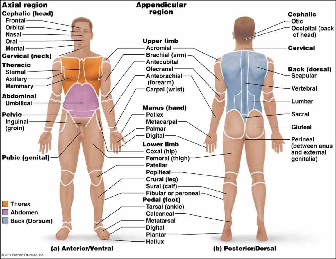 standing on supporting surface anatomical Anterior Anatomical Position terminology is a form of scientific used by anatomists zoologists and