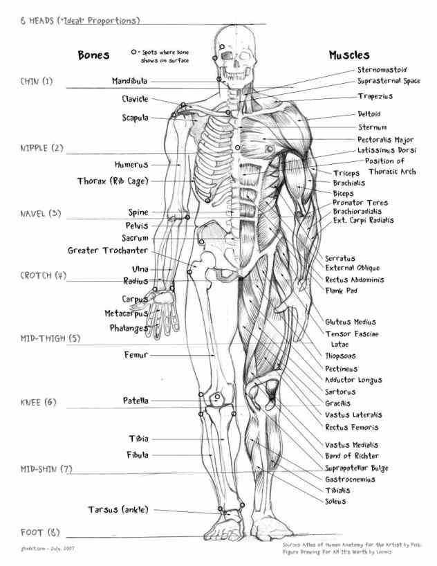 stapes bones  de Anatomy Of All Bones In The Human Body jul there are bones some say in the