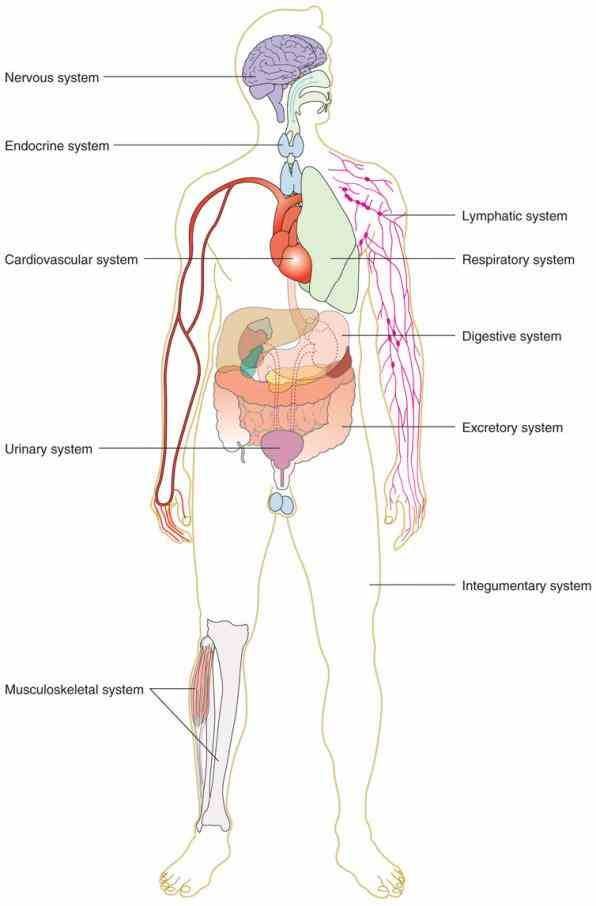 stock photos that you wont anywhere else start Pictures Of The Human Body Organ Systems studying body organ systems