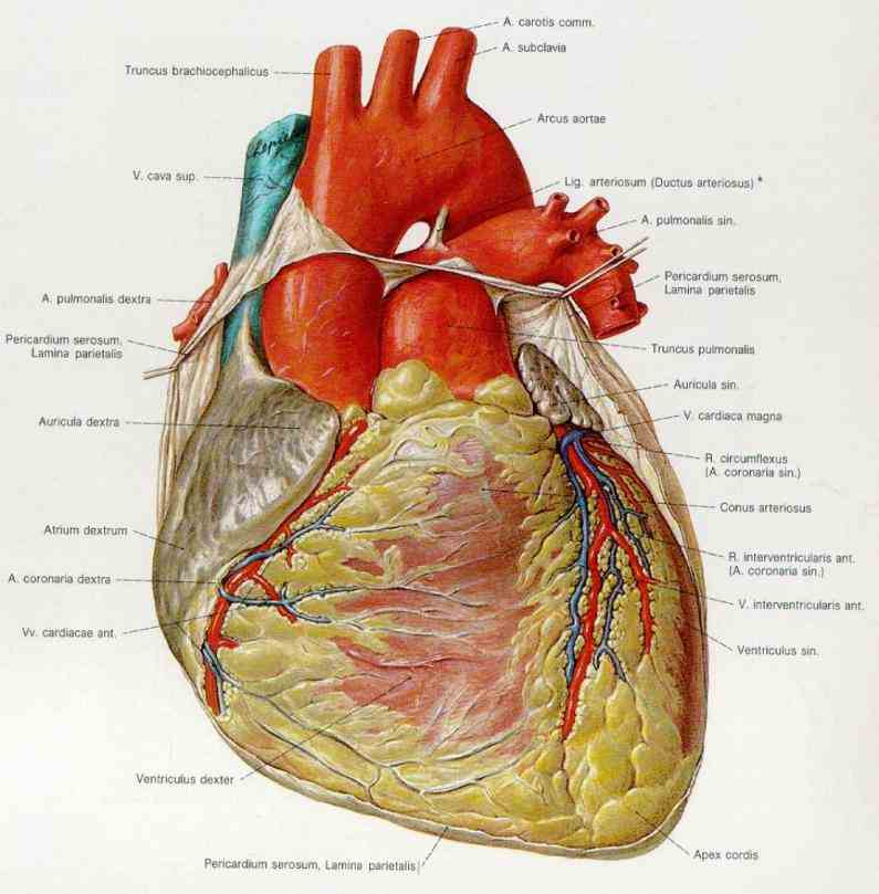"strongest chamber pumps oxygenrich blood to rest body knowing Location Of Human Heart In Body ""where is your heart"