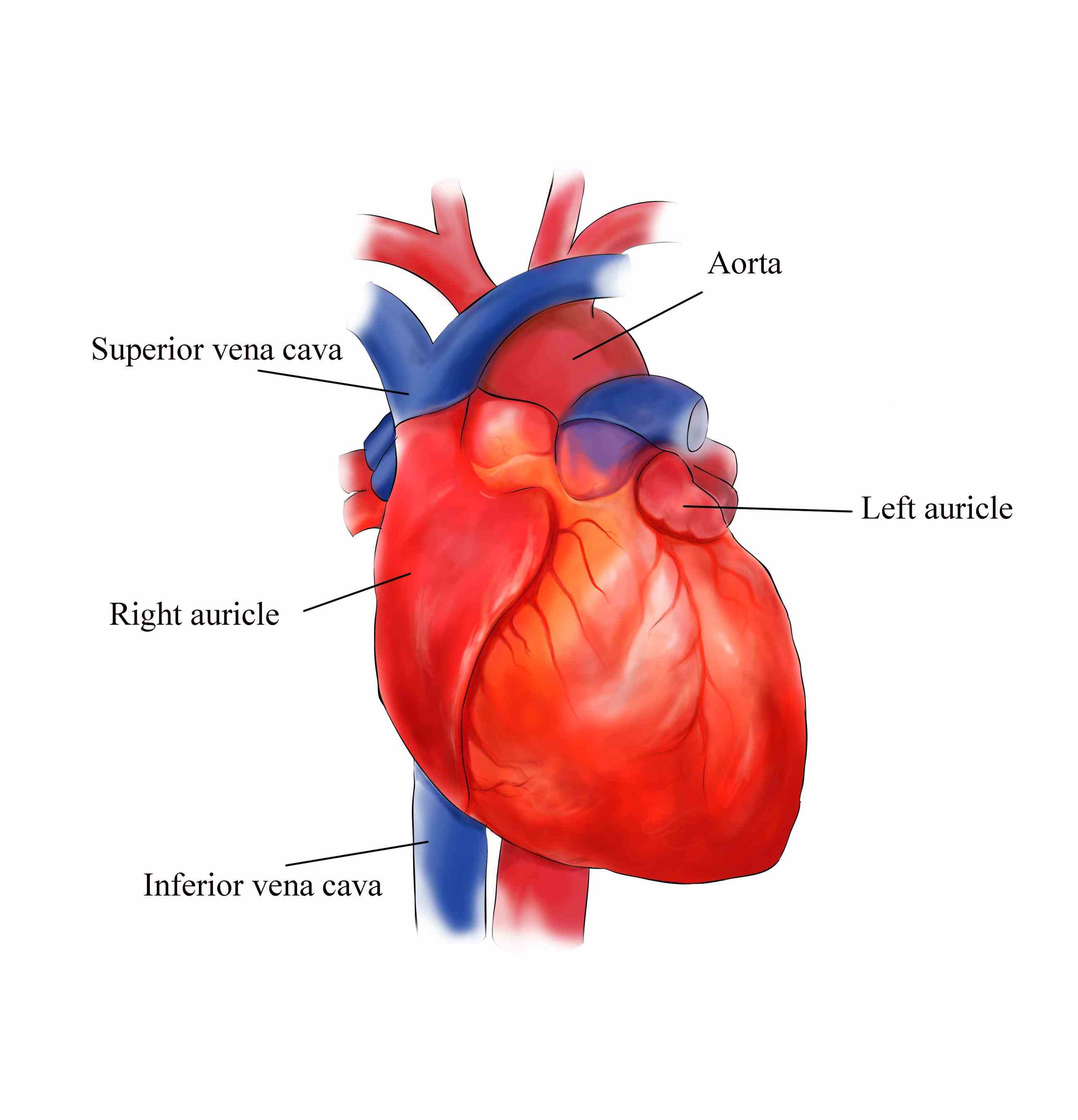 structure External Structures Of The Human Heart of human heart external features class th biology life processes the