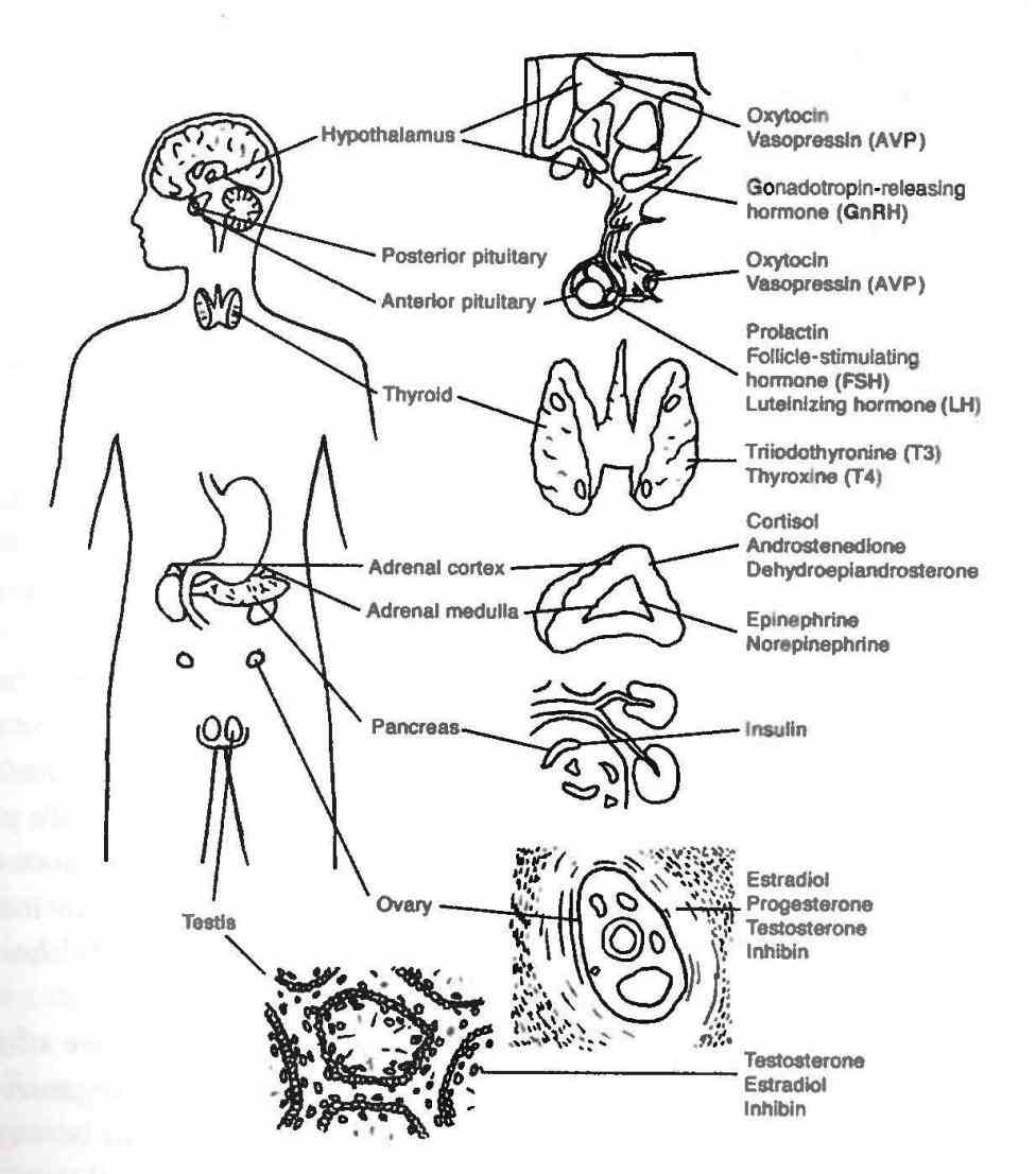 structure and function hypothalamus section of brain responsible for hormone production hormones  de Endocrine System Structures And Functions set