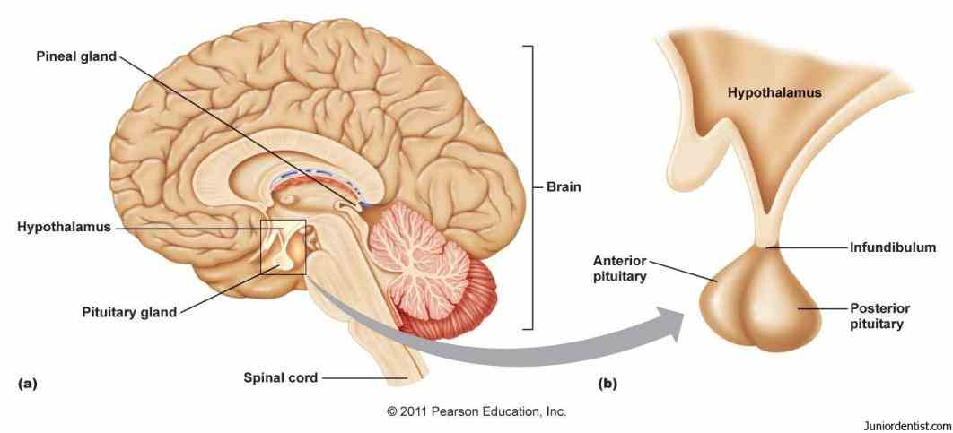 structure has several key anteriorly  de Anatomy Of The Pituitary Gland jul the pituitary gland is a peasized endocrine