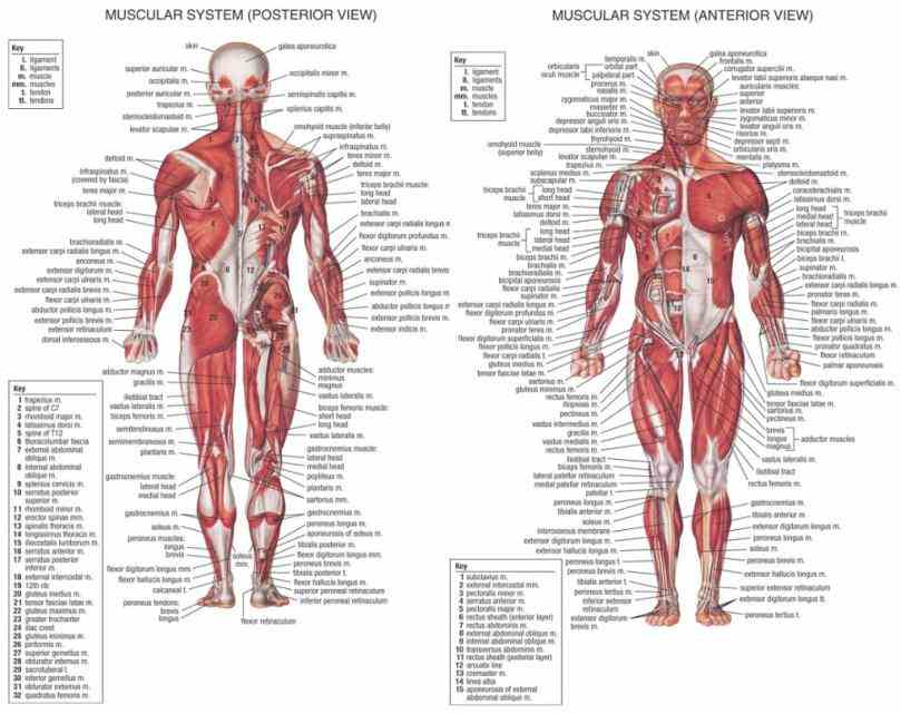 structure role of system the Musculoskeletal System Structure human musculoskeletal system is an organ that gives humans ability to