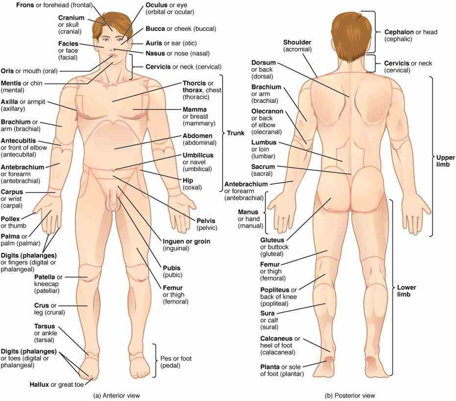 study Anterior And Posterior Parts Of The Body terms for body parts and areas anterior & posterior views