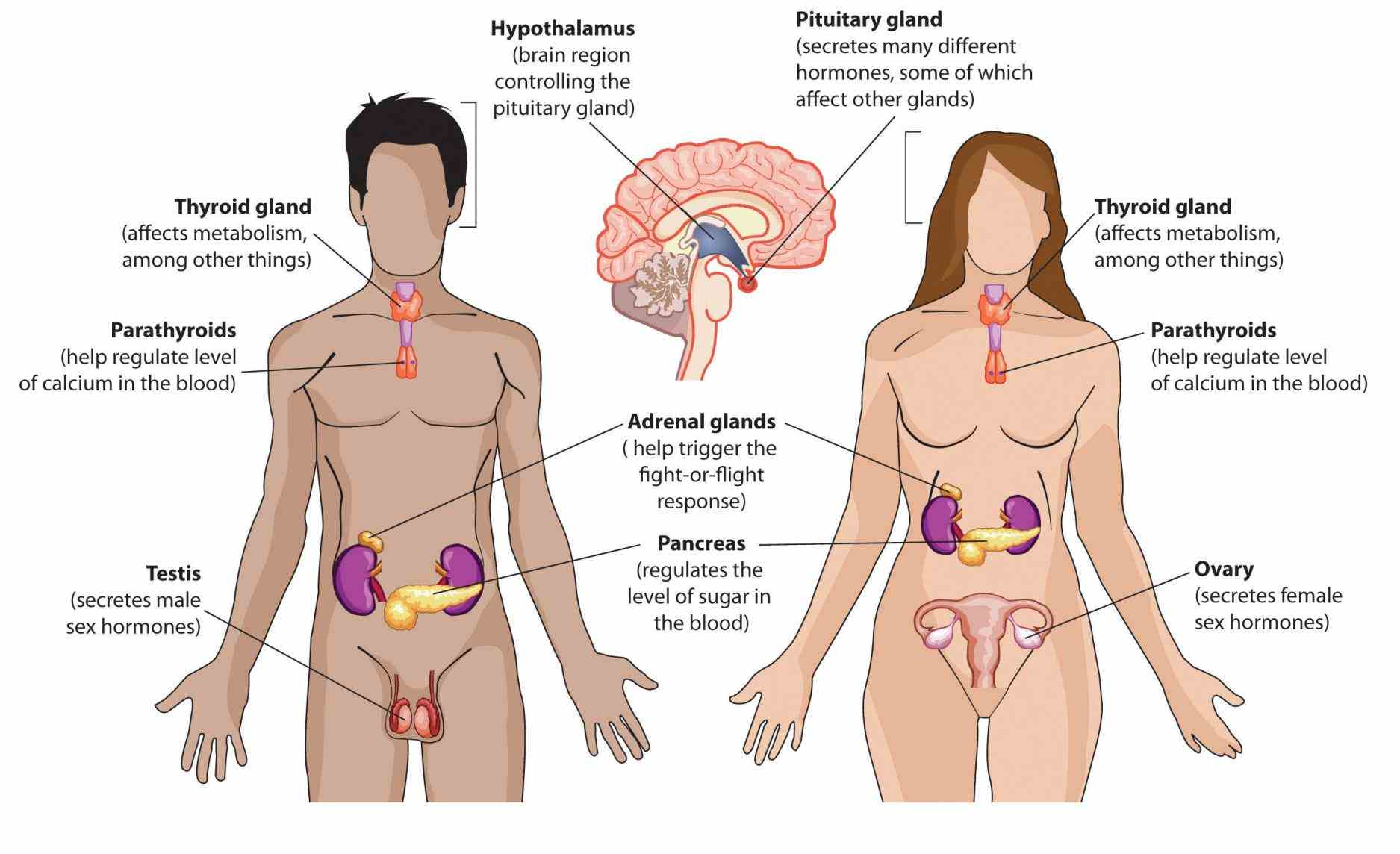substances that regulate functioning organism such a system  this Anatomy Of Endocrine System article discusses the endocrine system describing