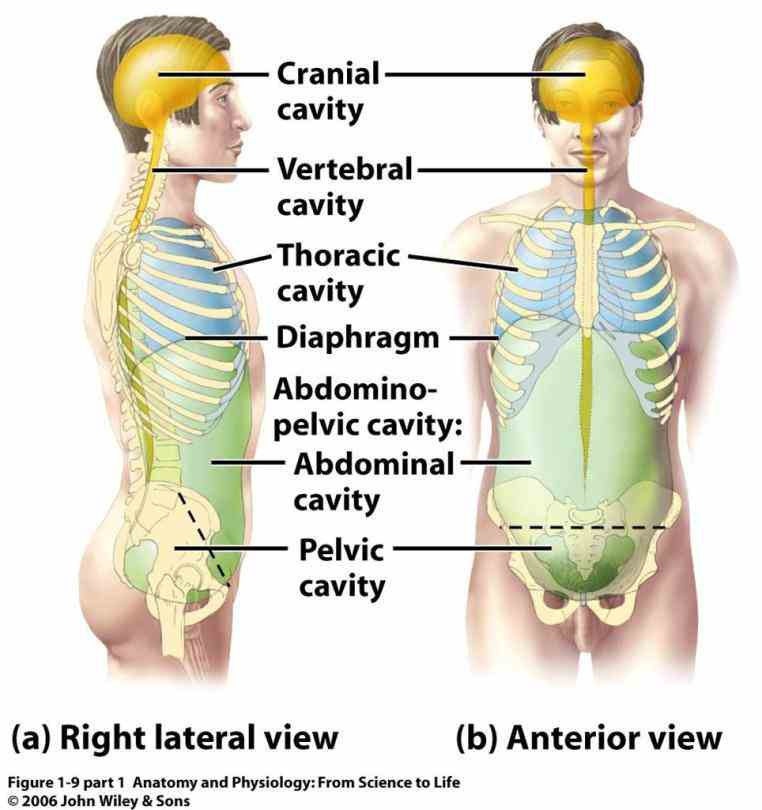 superior to the pleural cavity; part of thoracic cavity ventral body inferior abdominal contains urinary bladder internal  intermediate Dorsal