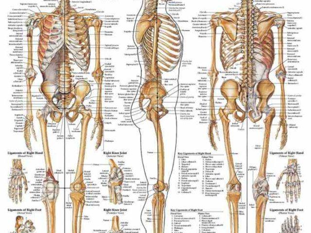 Anatomy of the body bones