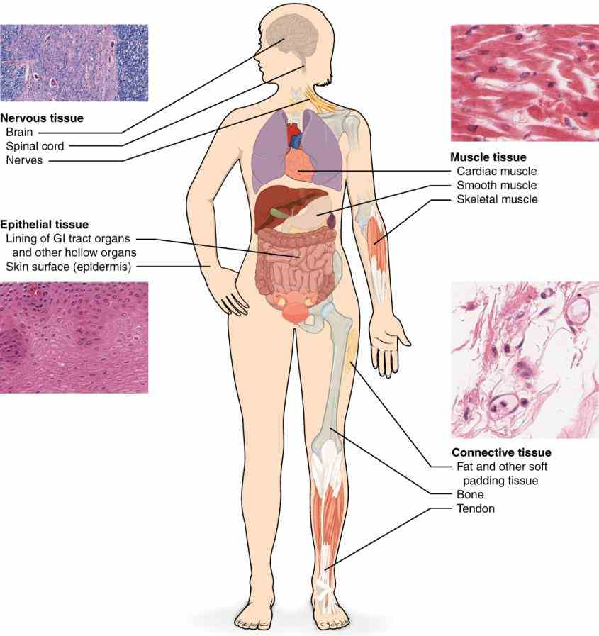 surface or lines functions include secretion and absorption located in small ducts of ir Epithelial Tissue Location In The