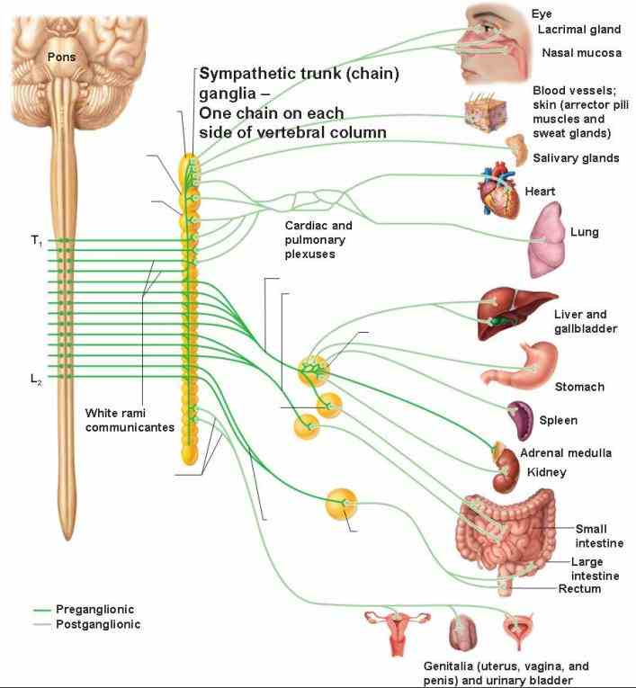 sympathetic nervous system normally functions to produce localized adjustments such as sweating a response an increase in temperature and