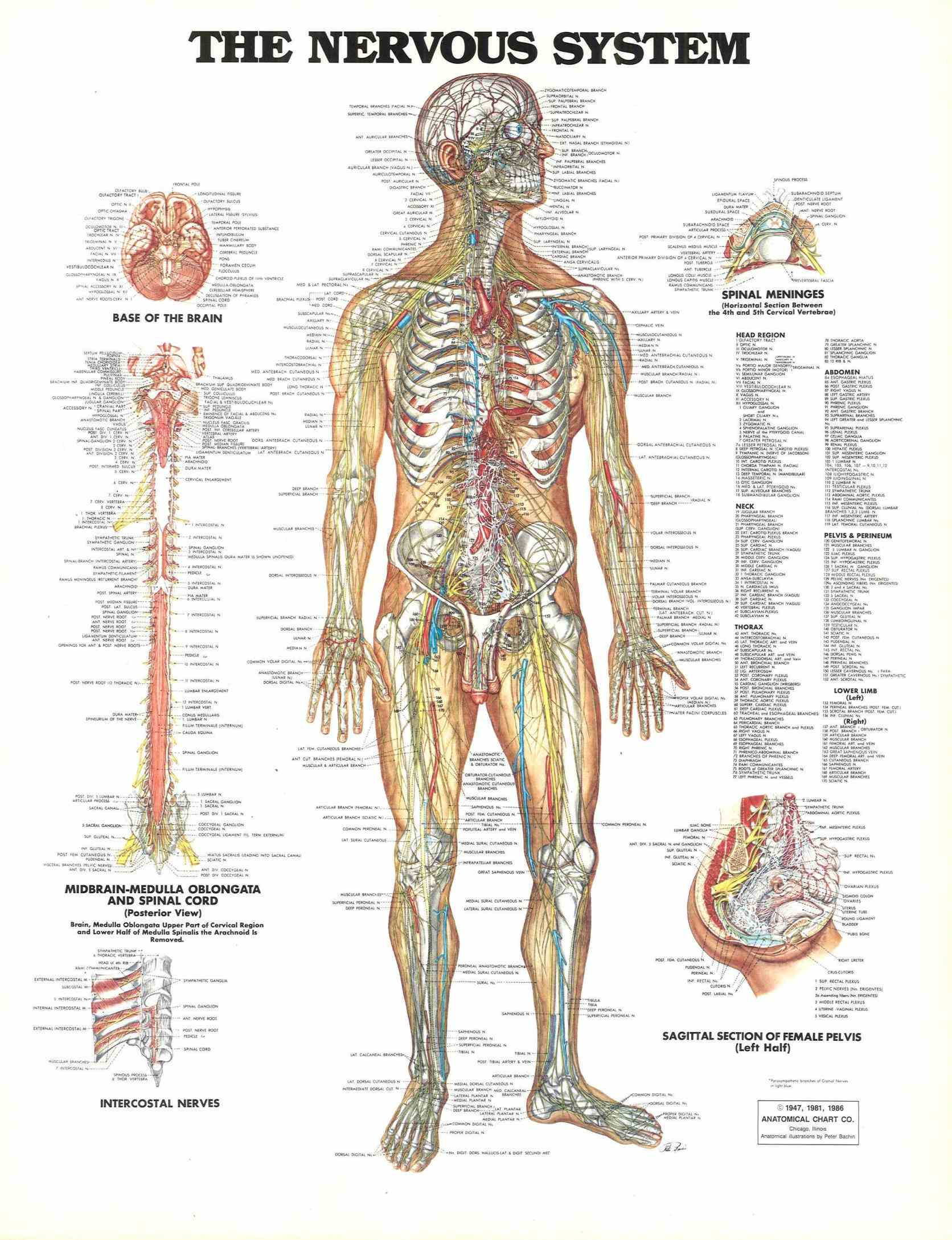 system – interact with diagrams and descriptions of anatomy body everything from brain to nerve endings all nerves that