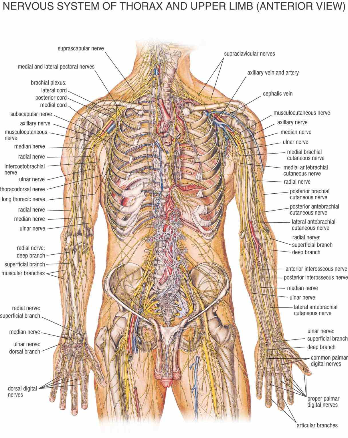 Anatomy The Nervous System Pictures Wallpapers