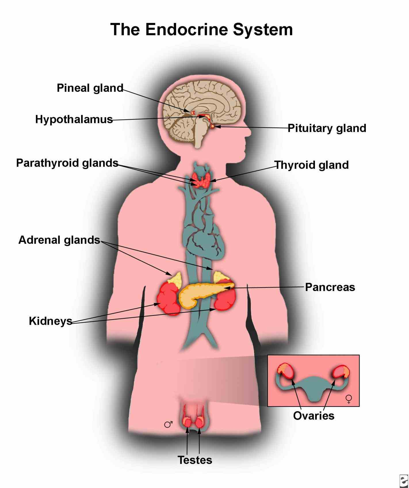 system we discuss different types hormones and examine how glands and  endorine Endocrine Glands Structure And Function glands are