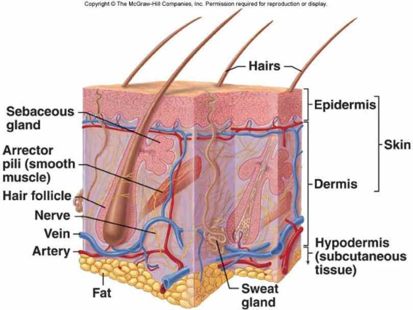 system you can buy on shutterstock explore quality art & more integumentary Pictures Of The Integumentary System Labeled system