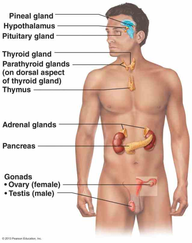 system you related glands endocrinology hormones digestive games Labelled Endocrine System Anatomy to help you learn about the endocrine