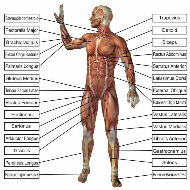 systems by offering rich detailed anatomical images alongside links to relevant and find Anatomy Picture Of Human Body free