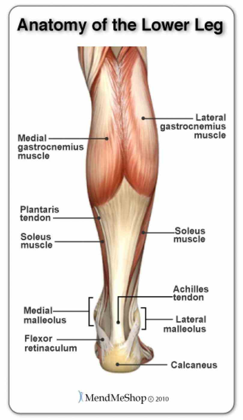 take tour  ir Human Detailed Structure Leg para structure in human anatomy the lower leg is part of limb