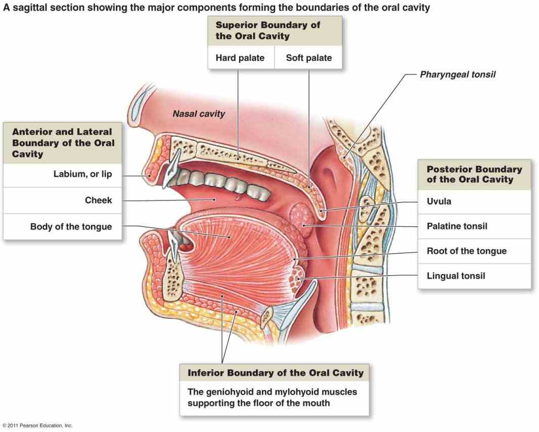 teeth tongue salivary glands liver gallbladder  the Glands In Digestive System Anatomy human endocrine system – explore anatomy of