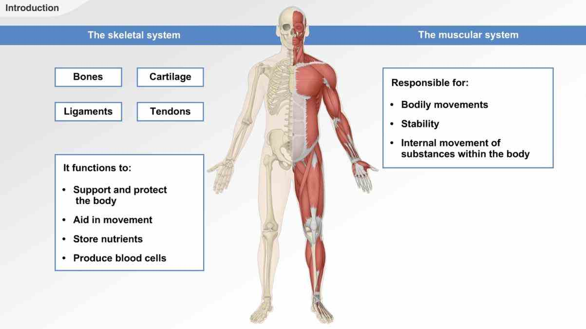 textbook provides form support stability and the Muscular Skeletal System muscular system is responsible for movement of human body